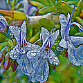 Rosemary In Fort Mojave-arizona by Ruth Hager