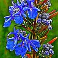 Rosemary In Park Sierra Near Coarsegold-california  by Ruth Hager