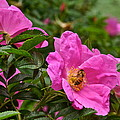 Roses And Honey Bee Close Up by Byron Varvarigos