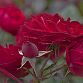 Roses And Roses by Maj Seda