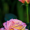 Roses by Deborah  Crew-Johnson