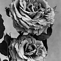 Roses by J. Horace McFarland