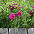 Roses On A Fence by Barbara Griffin