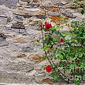 Roses On A Stone Wall by Mats Silvan