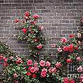 Roses On Brick Wall by Elena Elisseeva