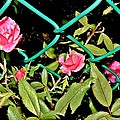 Roses On Fence by Genevieve Diamond