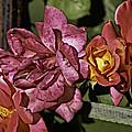 Roses On Trellis by Paul Shefferly