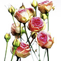 Roses (rosa 'mini Eden') by Derek Lomas / Science Photo Library