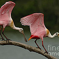 Rosiette Spoonbill Pair by Bob Christopher