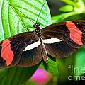 Rosina Butterfly by Millard H. Sharp
