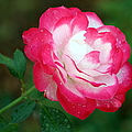 Rosy Reds And Whites by Elizabeth Winter