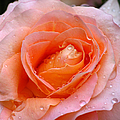 Rosy Rose by Juergen Roth