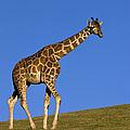 Rothschild Giraffe  by Zssd