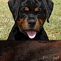 Rottweiler by Marvin Blaine