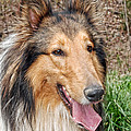 Rough Collie by Kenny Francis