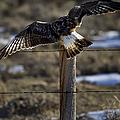Rough-legged Hawk   #1865 by J L Woody Wooden