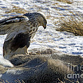 Rough-legged Hawk On A Mule Deer Kill by J L Woody Wooden