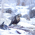 Rough Legged Hawk On Deer Carcass by Gregory K Scott
