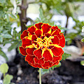 Round Flower by Goyo Ambrosio