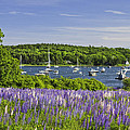 Round Pond Lupine Flowers On The Coast Of Maine by Keith Webber Jr