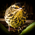 Round Warbler by Karen Wiles