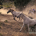 Rounding Up Horses On The Ranch by Ron Sanford