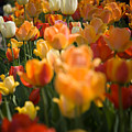 Row Of Colorful Tulips by Jeff Folger