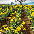 Rows Of Daffodils by Adrian Evans