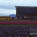Rows Of Multi Colored Tulips In Field With Old Barn And Yellow B by Jim Corwin