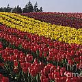 Rows Of Multicolored Tulips In Field Mount Vernon Washington Sta by Jim Corwin