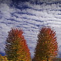 Rows Of Red Autumn Trees With Cirus Clouds by Randall Nyhof