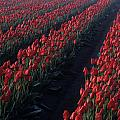 Rows Of Red Tulips by Jim Corwin
