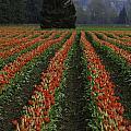 Rows Of Tulips by Pam Headridge