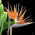 Royal Beauty I - Bird Of Paradise by Ben and Raisa Gertsberg