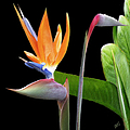 Royal Beauty II - Bird Of Paradise by Ben and Raisa Gertsberg
