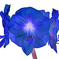 Royal Blue Amaryllis On White by Rosemary Calvert