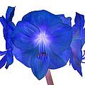 Royal Blue Amaryllis On White by Rosemary Calvert