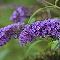 Royal Butterfly Bush by Maria Urso