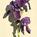 Royal Purple Iris Still Life by Chris Berry