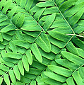 Royal Fern  Frond Detail by Niels Kooyman