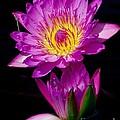 Royal Lily by Nick Zelinsky