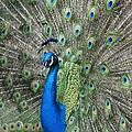 Royal Peacock Display by Rob Cruise