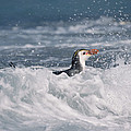 Royal Penguin Swimming In Surf by Konrad Wothe