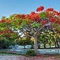 Royal Poinciana by Amel Dizdarevic