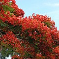 Royal Poinciana Branch by Mary Deal