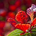 Royal Poinciana - Flamboyant - Delonix Regia by Sharon Mau