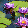 Royal Purple Water Lilies by Kathy Clark