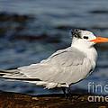 Royal Tern by Anthony Mercieca
