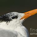 Royal Tern by John Shaw