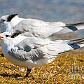 Royal Tern by Millard H. Sharp